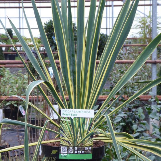 Hardy Outdoor Yucca Plant. Yucca Filamentosa Bright Edge 4 Litre.