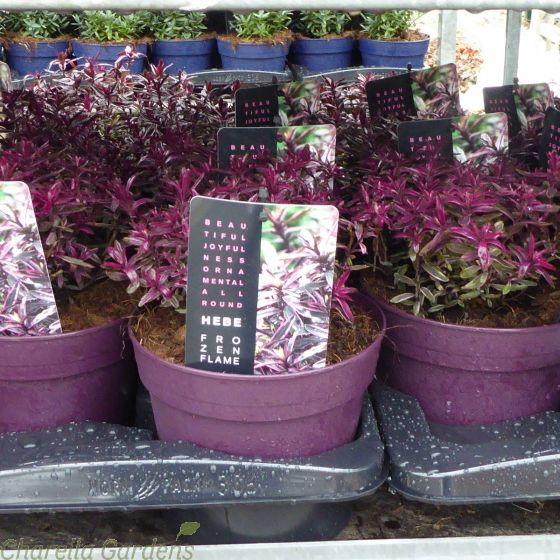 Hebe Frozen Flame 2 Litre. Delivery by Charellagardens