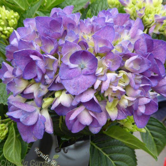 Hydrangea Macrophylla Amor Blue 7.5 Litre by Charellagardens.