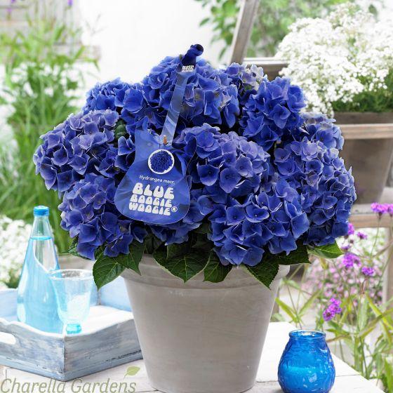 Hydrangea Blue Boogie Woogie 5 Litre Charellagardens