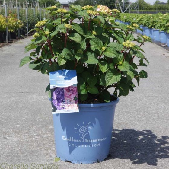 Hydrangea Endless Summer Bloomstar large Plants in 15 Litre pots - Delivery by Charellagardens