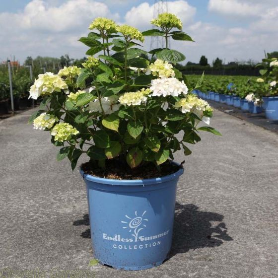 Hydrangea Endless Summer The Bride Large Established 15 Litre Plants