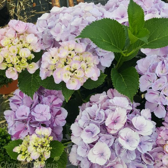 Hydrangea Hovaria Sweet Fantasy Pink Large Plants - July 2016