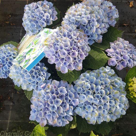 Magical Hydrangea Plants Hydrangea Magical Revolution Blue 5 Litre