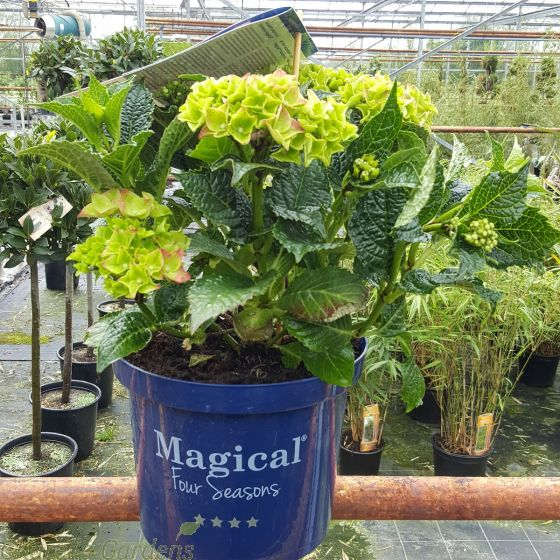 Hydrangea Magical Sapphire 5 Litre - May 2016