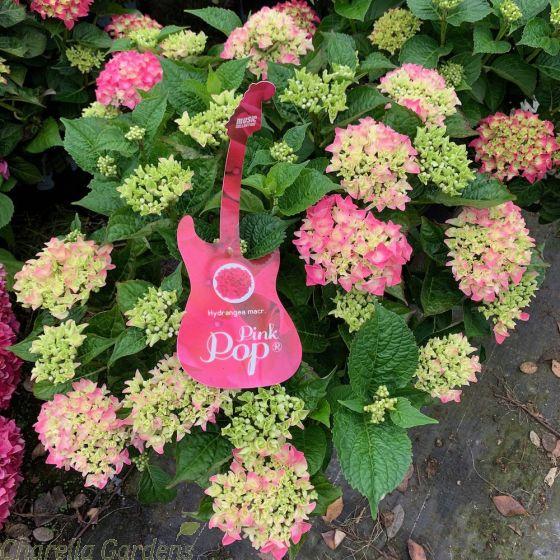 Hydrangea Macrophylla Pink Pop 10 Litre Large Plants 16/18 Heads
