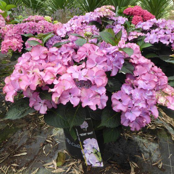 Large Hydrangea Plants. Hydrangea Tiffany Violet July 2017.