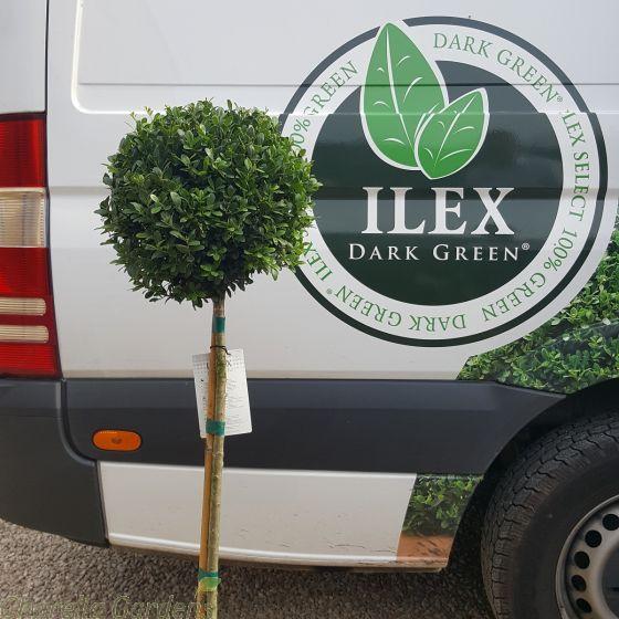 Standard Ilex Plants 80cm clear stem 30cm head by Charellagardens