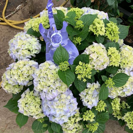 Hydrangea Blue Ballad  5 Litre