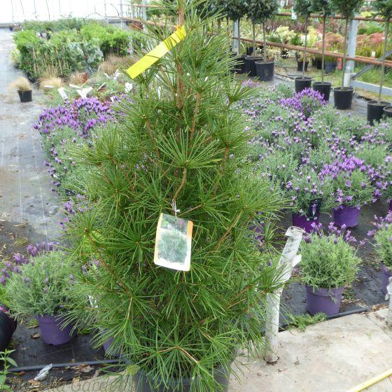 Large Japanese Umbrella Pine. Sciadopitys Verticallata 15 Litre