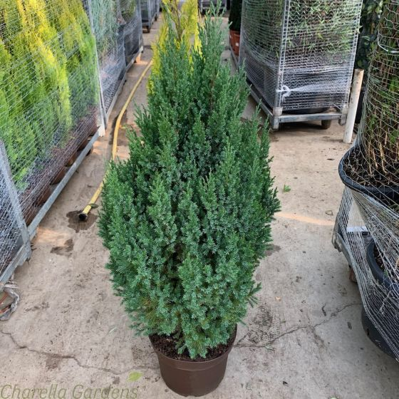 Juniperus Stricta10 Litre by Charellagardens.