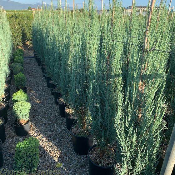 Juniperus Scopulorum Blue Arrow 105cm+ by Charellagardens.