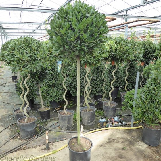 Large Full Standard Bay Tree 60-65cm head.