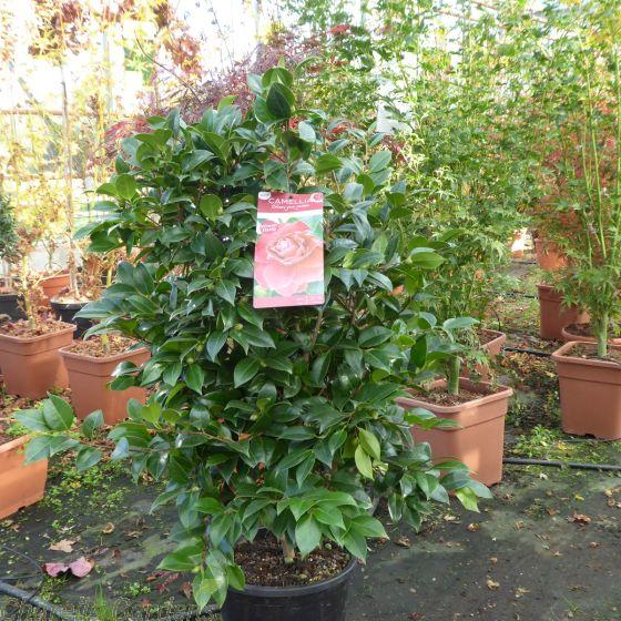 Large Red Flowering Camellia Plants Black Lace  80-100cm. 10 Litre