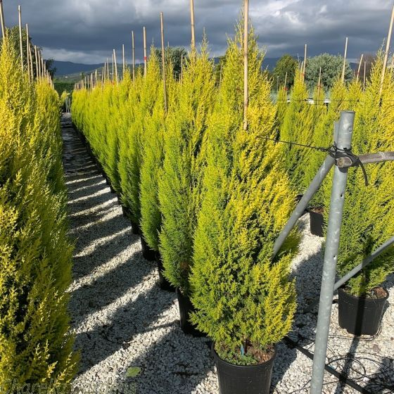 Large Cupressus Macrocarpa Goldcrest 18 Litre by Charellagardens.