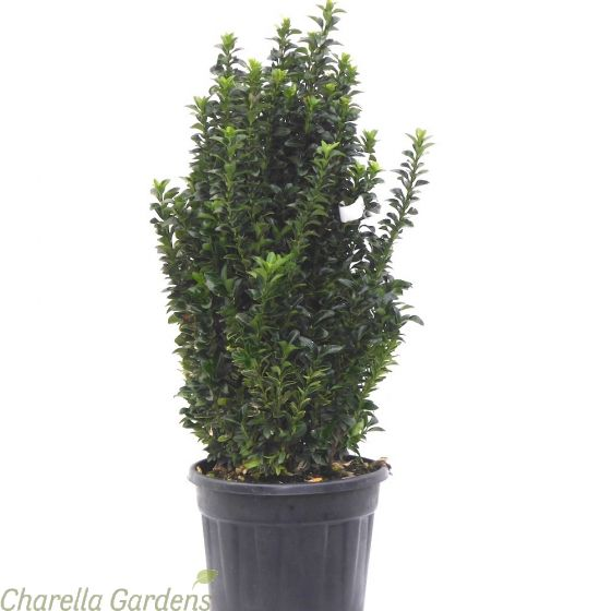 Euonymus Paloma Blanca. 5 litre plants delivery by Charellagardens