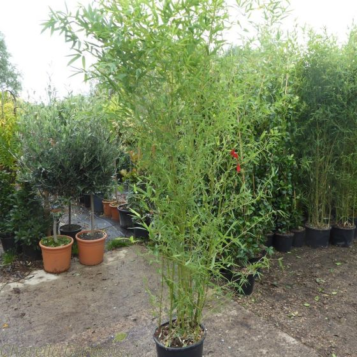 Large Bamboo Plants Phyllostachys Aurea 180cm tall excluding pot.