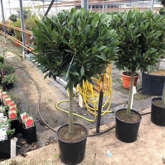 1/2 Standard Bay Tree 60/65cm head.