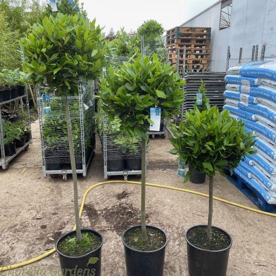 Large Head Bay Trees 50/55cm head 3 stem sizes 60cm, 90cm, and 120cm.