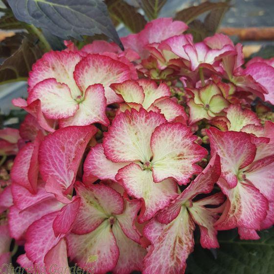 Large Hydrangea Plants. Hydrangea Tiffany Pink - July 2016