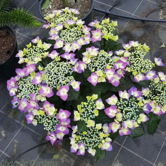 Hydrangea Kardinal Violet - Large plants in 7.5 litre pots