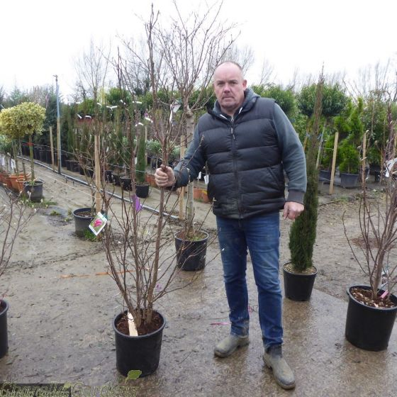 Large Established Magnolia Soulangeana 175/200cm 30 Litre - Large Plants