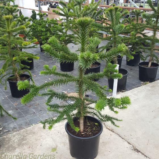 Large Monkey Puzzle Trees. Delivered with a minimum plant size of 100cm. 20 Litre pot
