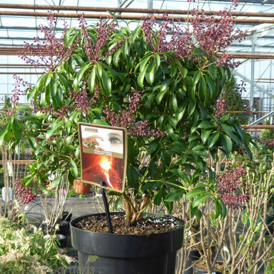 Pieris Japonica Passion 5 Litre. Delivery by Charellagardens