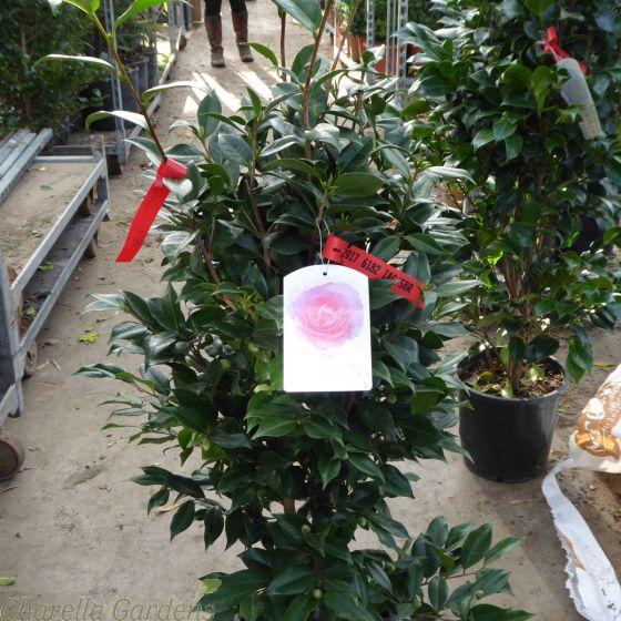 Large 10 litre pink flowering Camellia bushy 1 metre tall plants