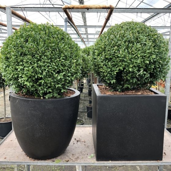 Potted Buxus Balls, Contemporary Planters
