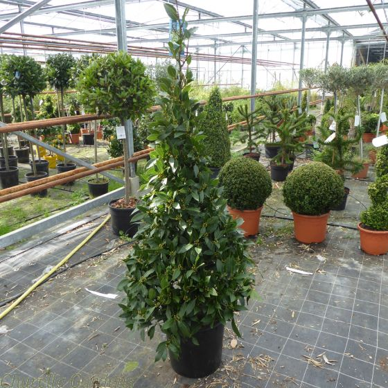 Bay Tree Pyramid Large 185-190cm. Belgian Grown Very Best Quality