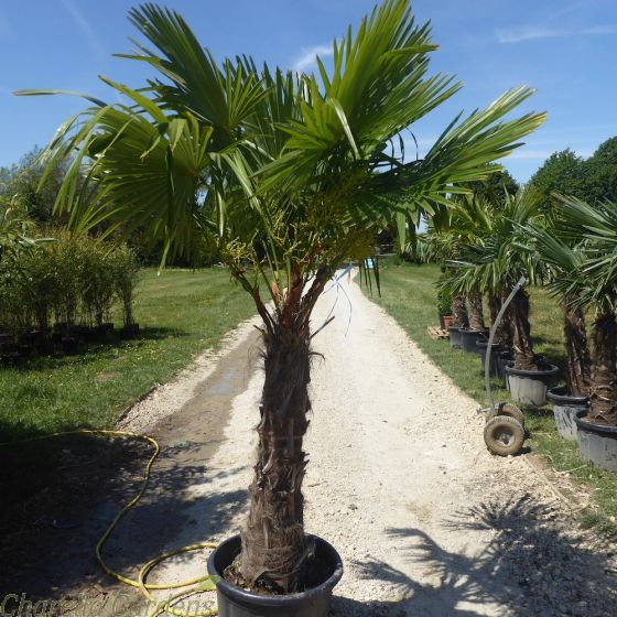 Winter Hardy UK Palms - Trachycarpus Fortunei Extra Large 100cm Trunk