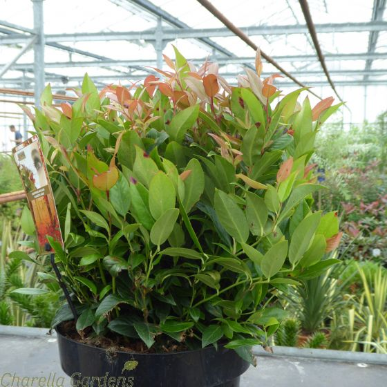 Leucothoe Royal Ruby 5 Litre by Charellagardens