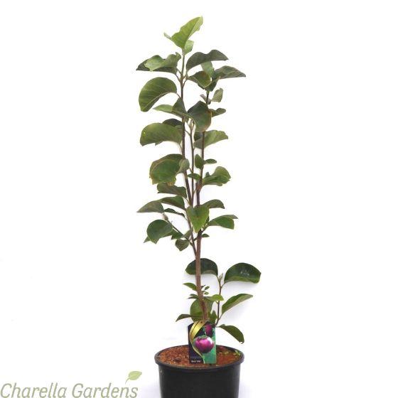 Magnolia Black Tulip 15 Litre pot - Charellagardens