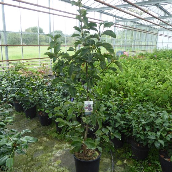 Magnolia Genie delivery by Charellagardens