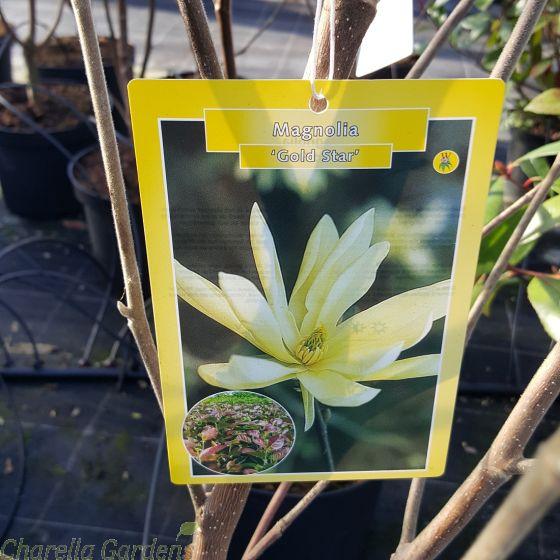 Magnolia Gold Star