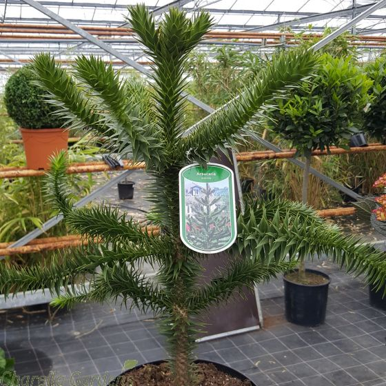 Monkey Puzzle Tree 7.5 Litre - by Charellagardens