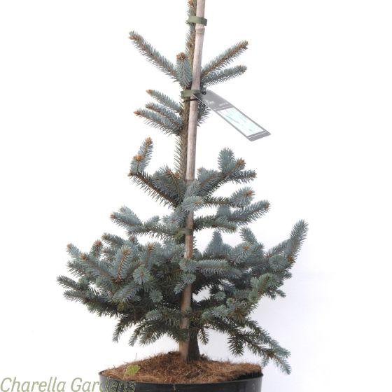 Blue Spruce Tree. Picea Pungens Erich Frahm Established plants in 7.5 litre pots.