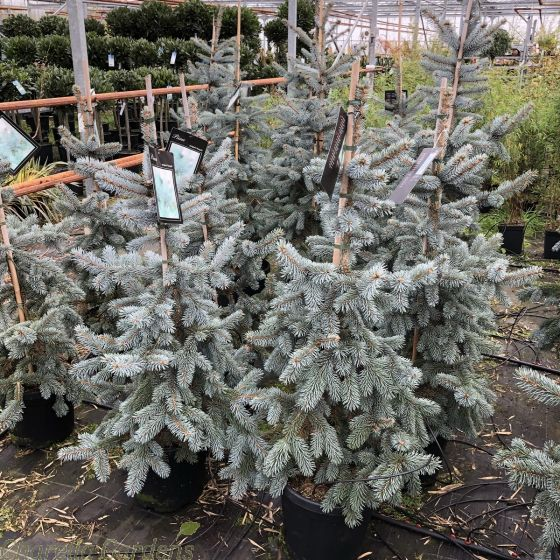 Picea Pungens Hoopsii 15 Litre pot 100cm, excluding the pot.
