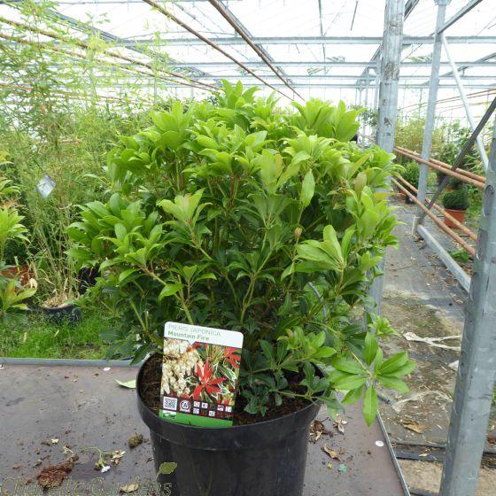Pieris Japonica Mountain Fire Extra Large 10 Litre pot.