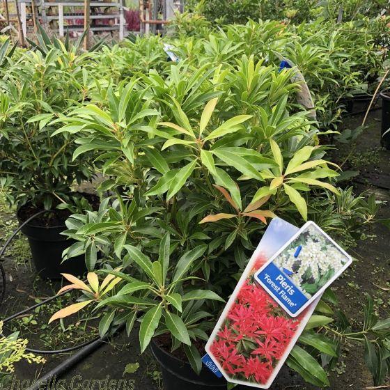 Pieris Japonica Forest Flame 5 Litre.