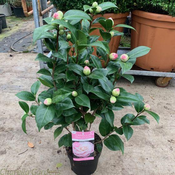Pink Flowering Camellia Japonica. 3 Litre 60/80cm.
