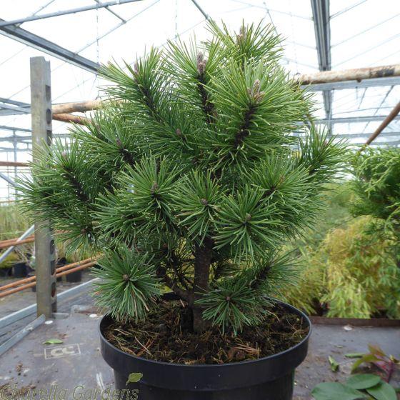 Pinus Mugo Mos 5 Litre - Delivery by Charellagardens