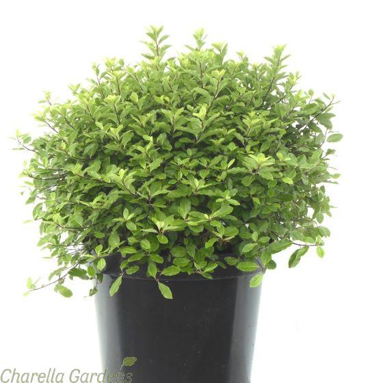 Large Pittosporum Tenuifolium Golf Ball 10 Litre Delivery by Charellagardens
