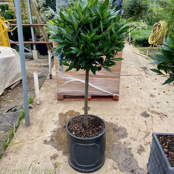 Potted 1/2 Standard Bay 50-55cm Head Chelsea Planter 38cm - Two Pot Options