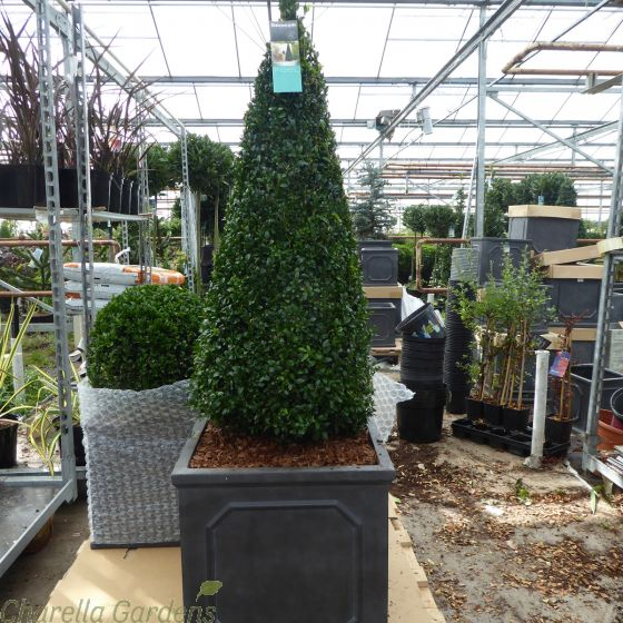 Large Buxus Pyramids in Chelsea Terrace Planter
