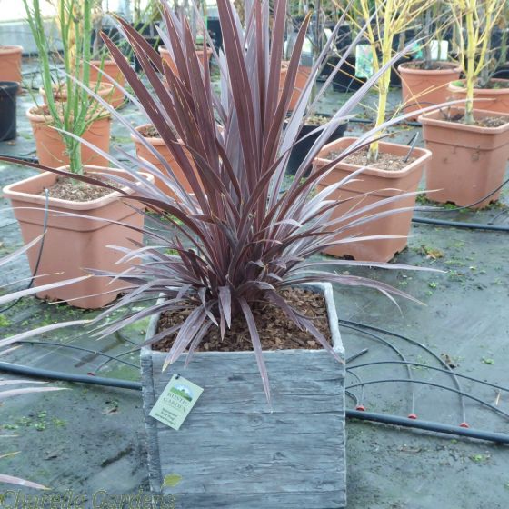 Pre Potted Cordyline Plants. Contemporary Driftwood Effect Planter.