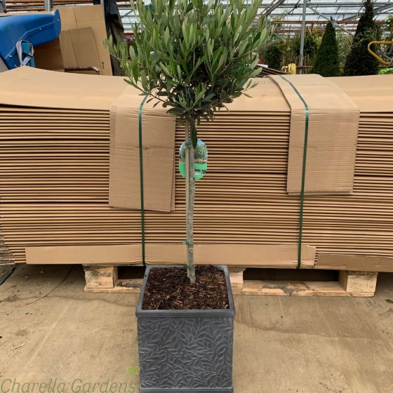 Ready Potted Olive Tree William Morris Chelsea Terrace Planter 27cm