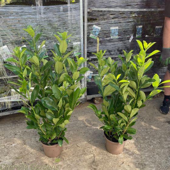 Prunus Hedging Plants 5 Litre pots 80/100cm.