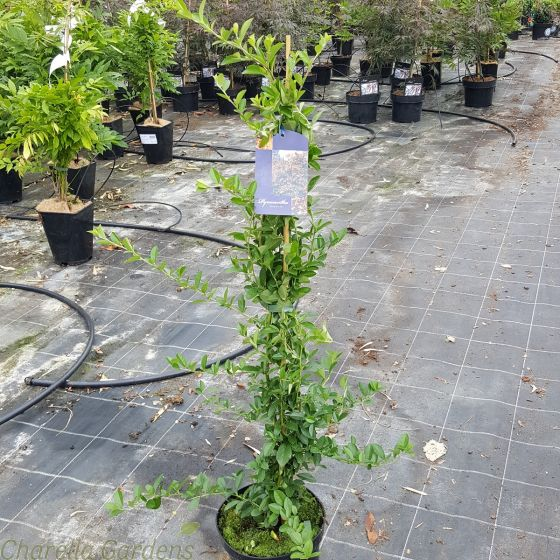 Yellow Berried Pyracantha. Pyracanta Soliel D'or - 3 Litre Pot